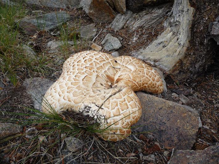 Un énorme polypore écailleux - Canada