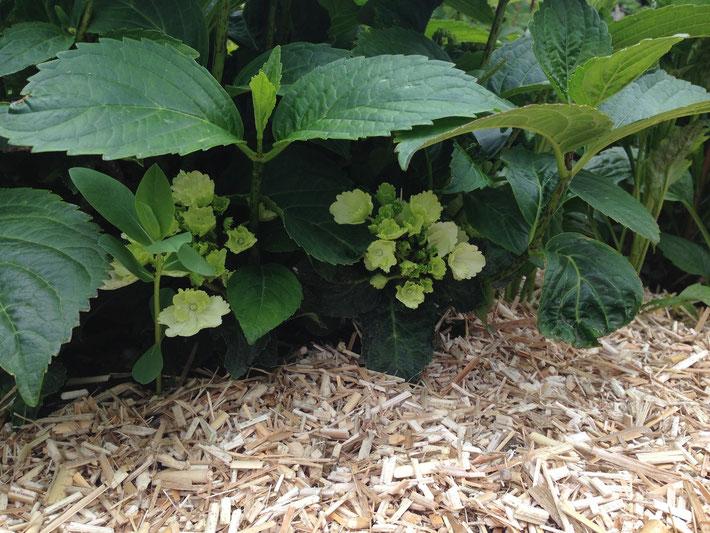 Bild: Miscanthus Häcksel als Gartenmulch
