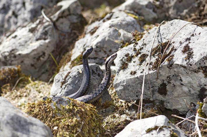 Männliche Zauneidechse (Lacerta a. agilis)