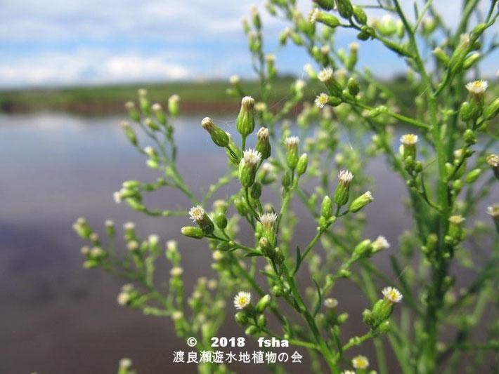 渡良瀬遊水地に生育するヒメムカシヨモギの画像その2