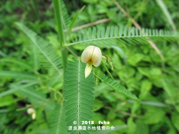 渡良瀬遊水地に生育するクサネム(花)の画像