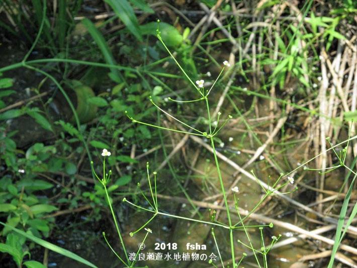 渡良瀬遊水地に生育するヘラオモダカの上部画像