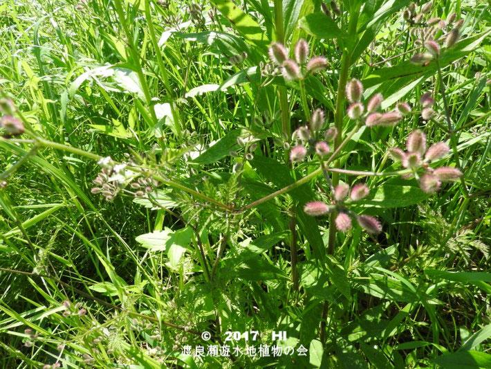 渡良瀬遊水地に生育するオヤブジラミの全体画像と説明文書(種子)