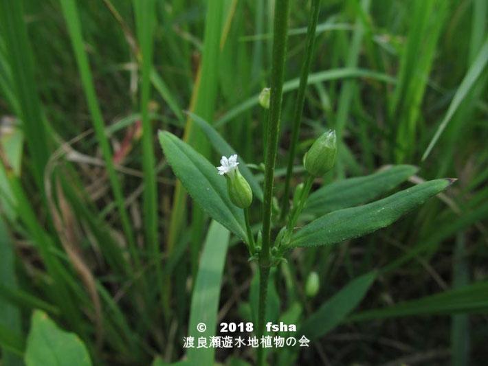 渡良瀬遊水地に生育するフシグロの全体画像と説明文書