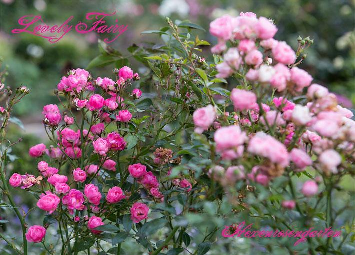 Rosen Rosenblog Hexenrosengarten Kleinstrauchrose pink Lovely Fairy Dickson Rosiger Adventskalender