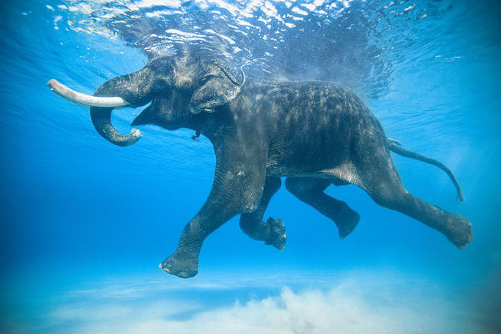 Elephant in the Andaman Islands swimming