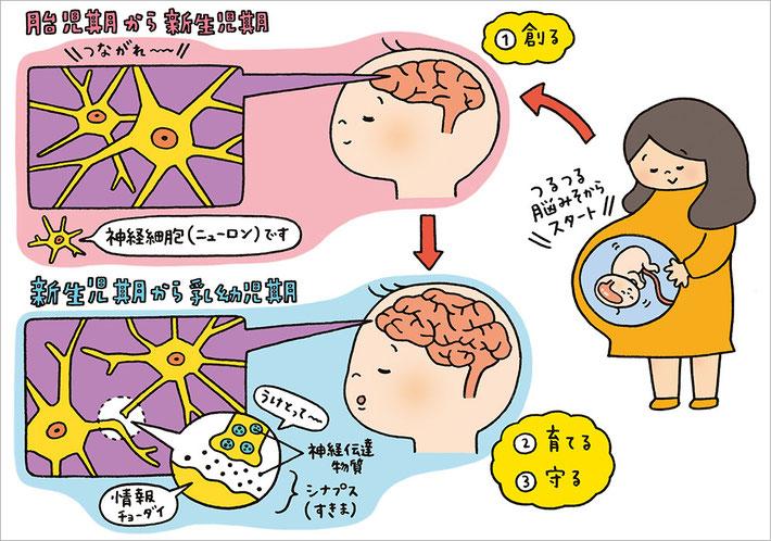 胎児期・新生児期・乳幼児期の脳の成長についてのイラスト
