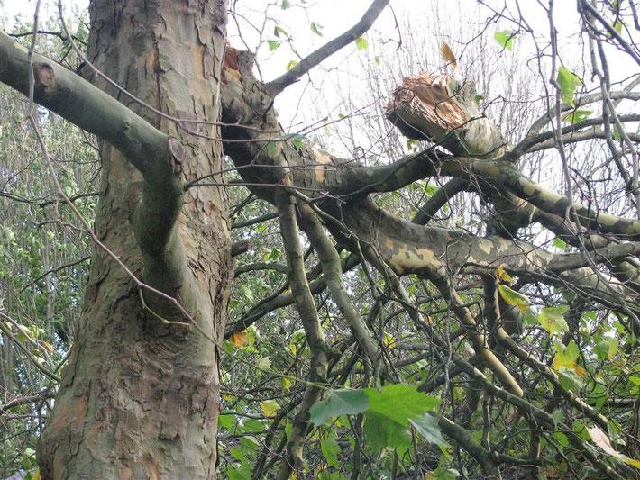 Der abgeknickte Baum
