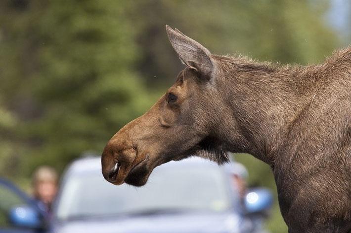 Im Denali kommt es durchaus vor, dass die Tiere über die Straße laufen und den Verkehr zum Stillstand bringen!