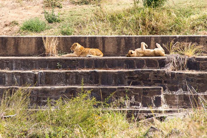 Löwinnen im Kruger-Nationalpark.