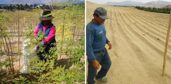 Coopérative Irrigación Santa Rosa Pérou paysans péruviens linda vida culture moringa