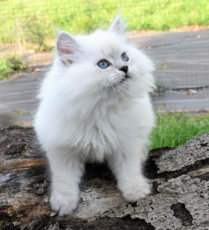 chaton sibérien néva masquerade yeux bleus poils longs beau blanc