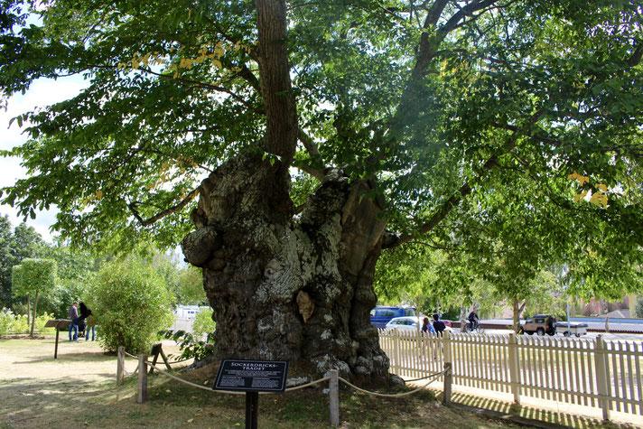 Astrid Lindgrens Näs. Die 200 Jahre alte Ulme war Vorbild für Pippi Langstrumpfs Limonadenbaum