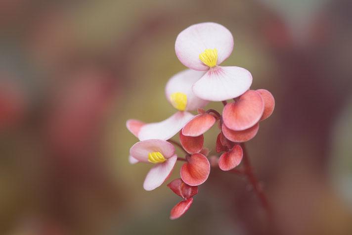"""Zweiter Teil der Blogreihe """"Lieber glücklich von A bis Z"""" mit Gastbeiträgen zu Bachblüten, Berufung, Blumen, Bodypainting. #Berufung #Bodypainting #Blumen #Bachblüten #Glück #glücklich #lieberglücklich #Begonie"""