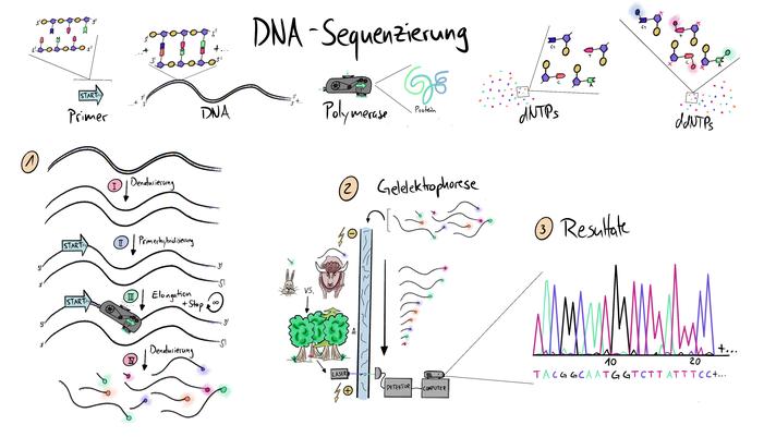 Tafelbild, das die Sequenzierung der DNA anhand der Gelelektrophorese und weiterer Bestandteile visualisiert.
