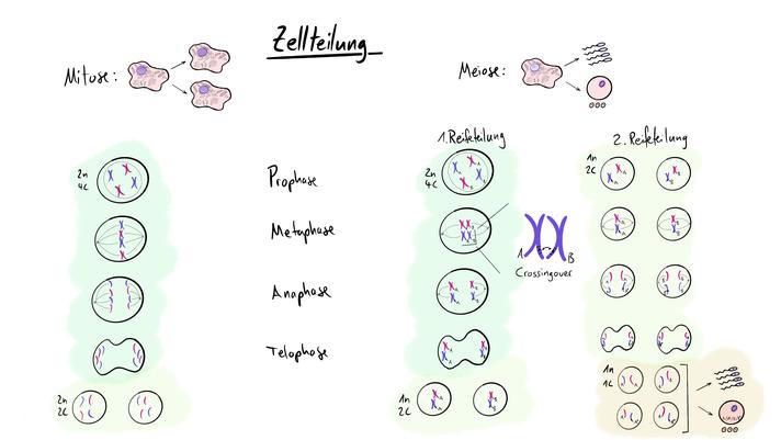 Tafelbild das die Zellteilung in Mitose und Meiose sowie die Rekombination via Crossingover zeigt. Daneben wird ebenfalls auf die Spermatogenese und Oogenese eingegangen.