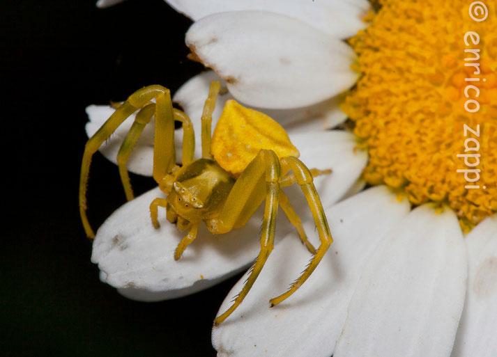 """Ragno """"granchio"""" : è un ragno che non preda con la ragnatela, ma si apposta mimetizzandosi sulla vegetazione (fiori) e assalendo gli insetti che si avvicinano..."""