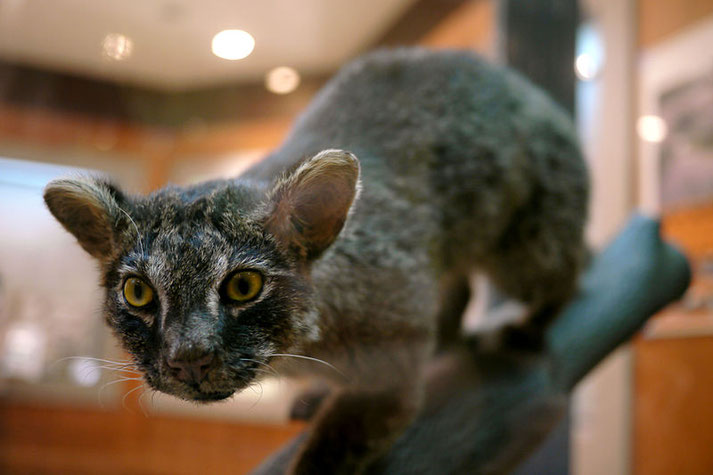 Iriomote cat, very rare to find! Source: wikipedia