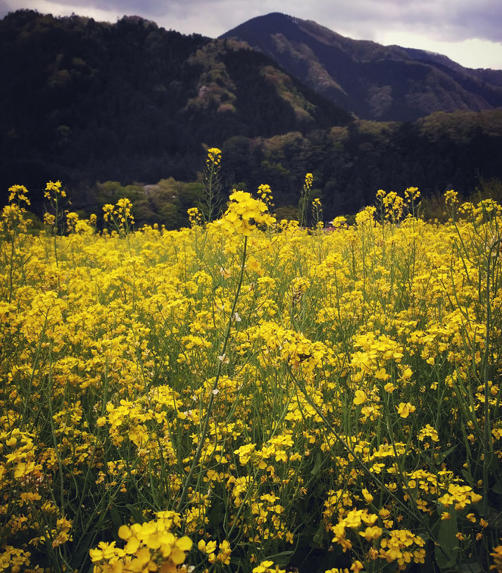 A flower field near Seoto no Yu all rights reserved by onegai kaeru