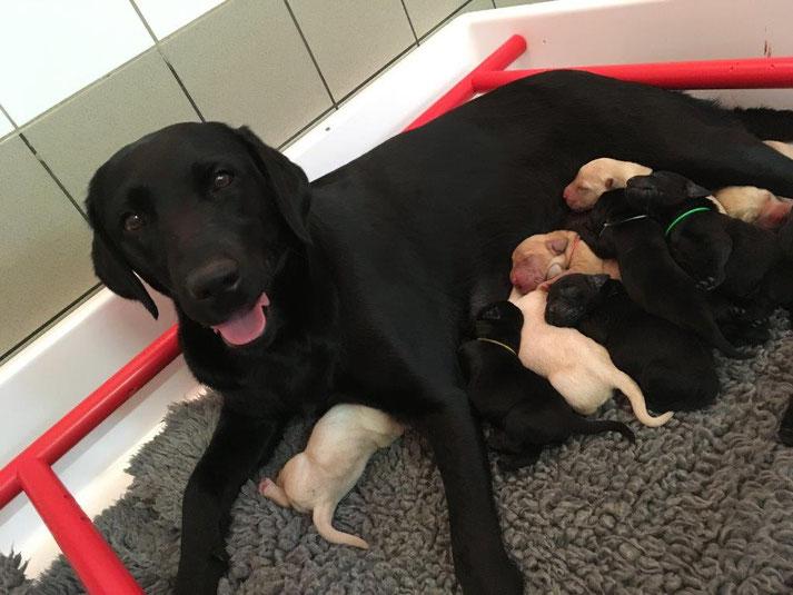 LEKI et ses 12 chiots nés la veille des canidéennes 2017 qui se sont tenues au CESECAH. Credit photo : CESECAH
