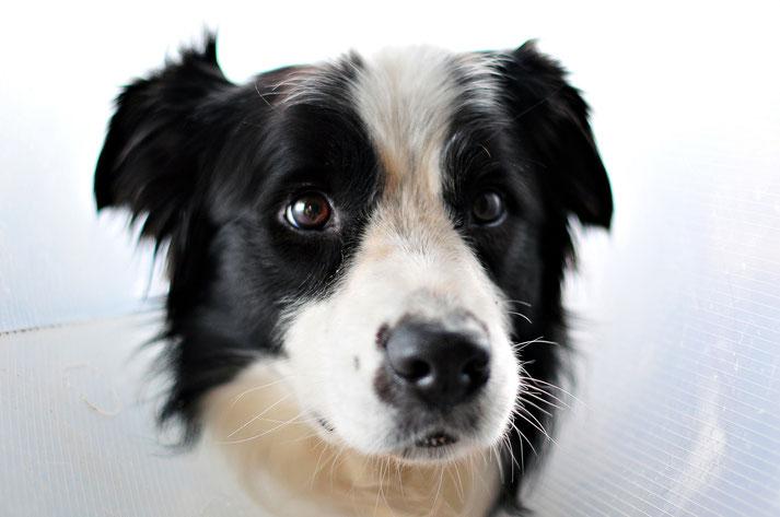 Gros plan sur la tête d'un chien de berger australien noir et blanc