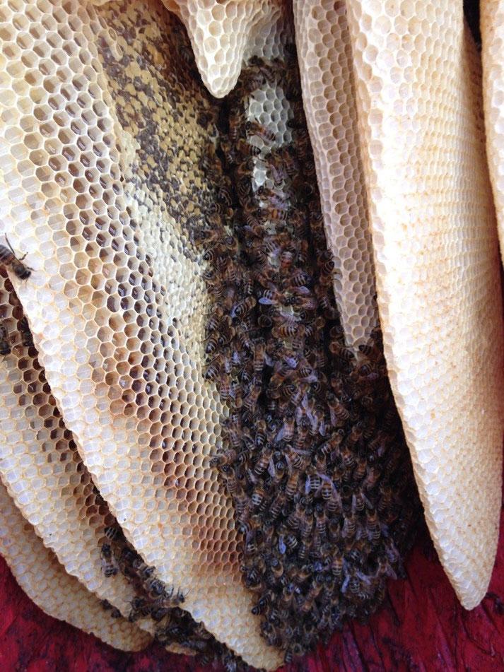 wie Bienen in Figurenbeuten leben, viel Honig, wenig Zucker, Einwinterung