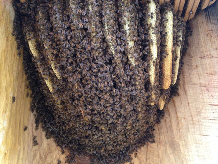 ein Schwarm Bienen auf 11 Waben, eingerichtet in einer Beute im Bauch des Buddhas