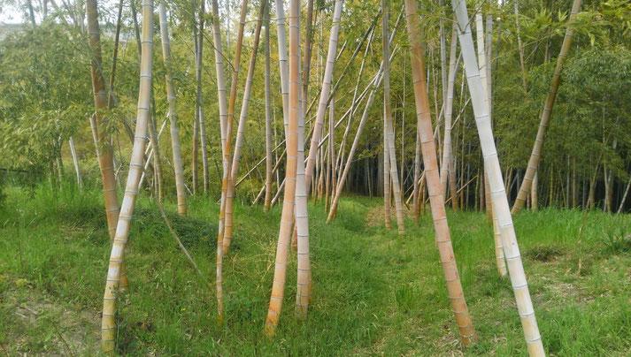 吹田の竹林