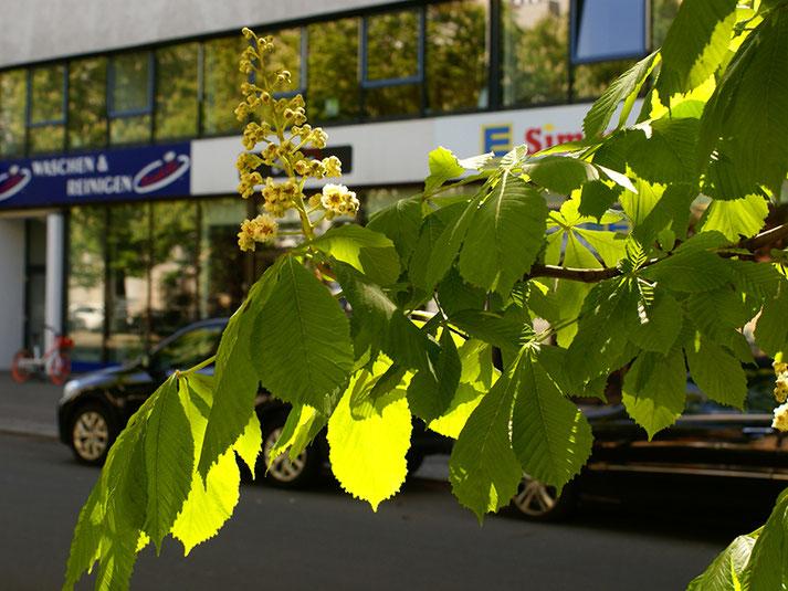 Kastanienblüten vor dem Edeka Supermarkt auf der Levetzowstrasse