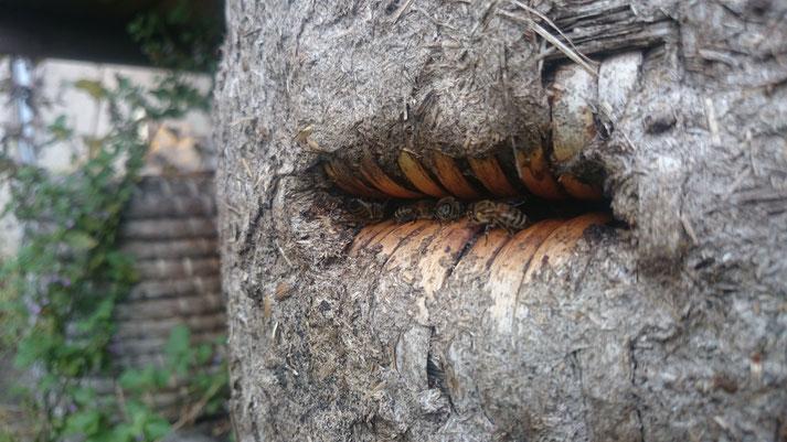 Bienenvolk in einem Bienenkorb (c) Jana Bundschuh 2016