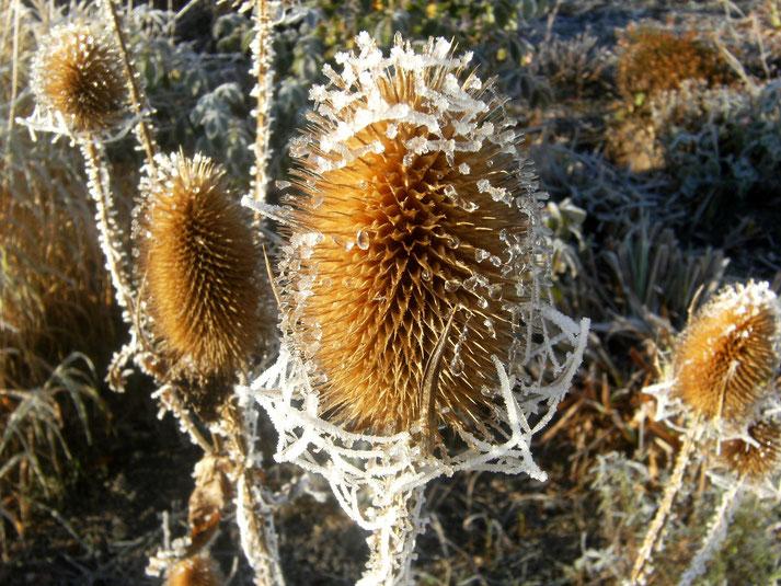 Wilde Karde (Dipsacus fullonum) mit Reifgespinst