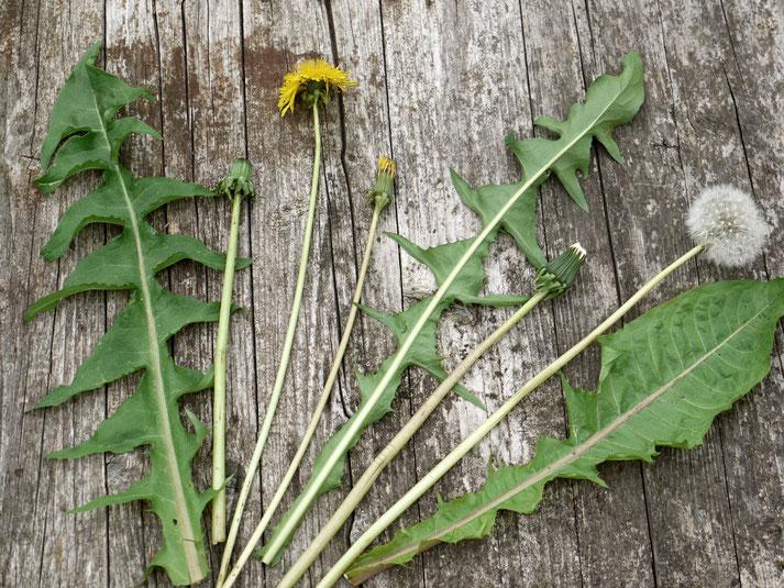 Grün, gelb, weiß - Sonnenwirbel-Blüten und Blätter  in allen Gestalten