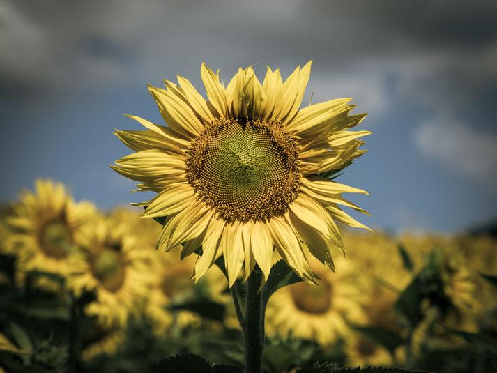 Ein Bild, das ich schon im Sommer vor drei Jahren aufgenommen habe, aber für alle Sonnenblumen steht, denen ich heuer beim Spazierengehen oder Wandern begegnet bin...