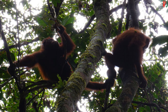 Moni und Terra in Freiheit ®Sintang Orangutan Center