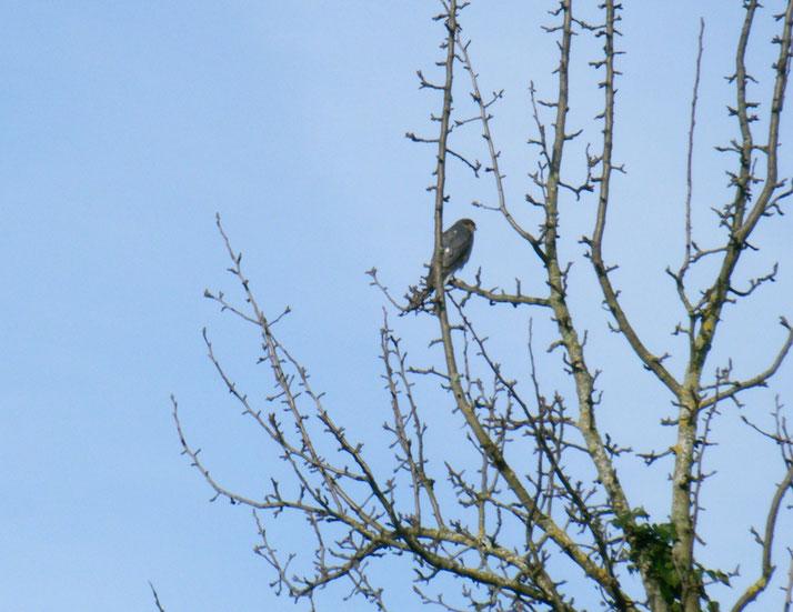 Sperber auf einem Birnbaum an der Rotach. Foto: Sanne Weber, 05.02.2020
