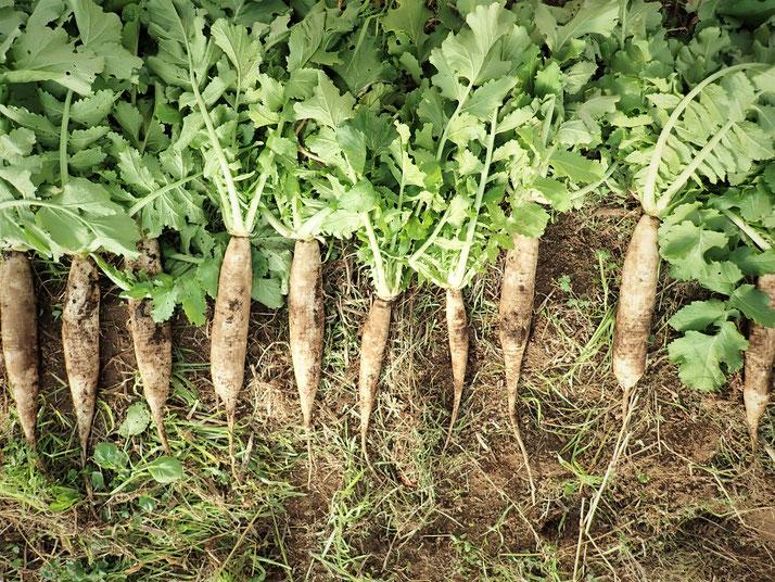 練馬大根 自然栽培 固定種 農業体験首都圏 体験農場首都圏 野菜作り教室首都圏  さとやま農学校 無農薬栽培