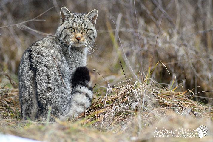 Il Gatto Selvatico Cacciatore Invisibile Antonio Macioce