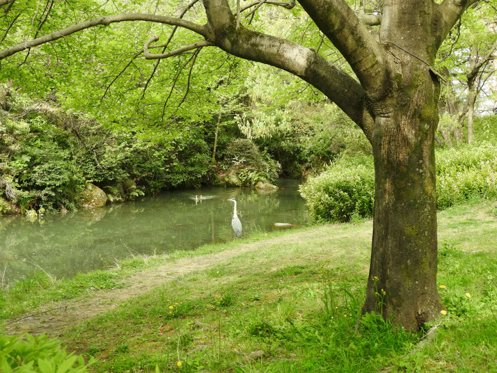 青鷺(あおさぎ) 親水公園 180412撮影