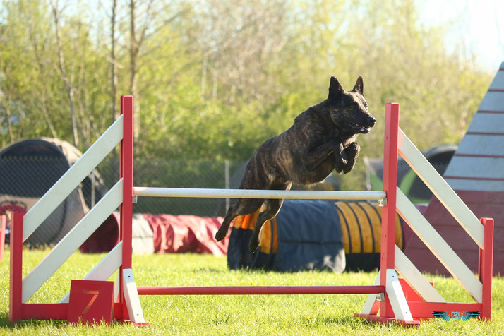 behendigheid Hollandse herder, agility, berger hollandais