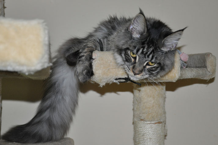 European Maine Coon Kitten