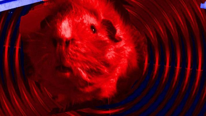 Rosa's guinea pig