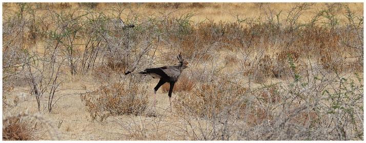 Messager sagittaire de Namibie