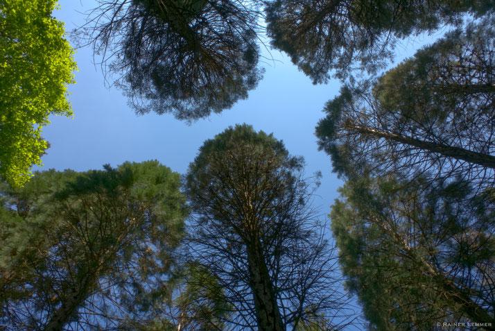 Mammutbaum-Wald bei Straßenhaus