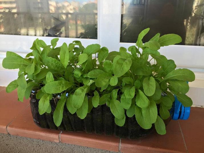 Este año he plantado rúcula y está casi lista para mi ensalada. El cultivo he estacional y mi balcón no es tan grande por esto he reciclado y aprovechado una botella de agua de unos 5L para hacer la maceta.