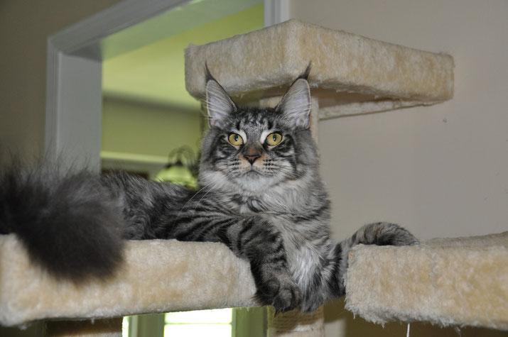 Masha of EuroCoons Silver Mackerel Tabby Female Maine Coot Cat