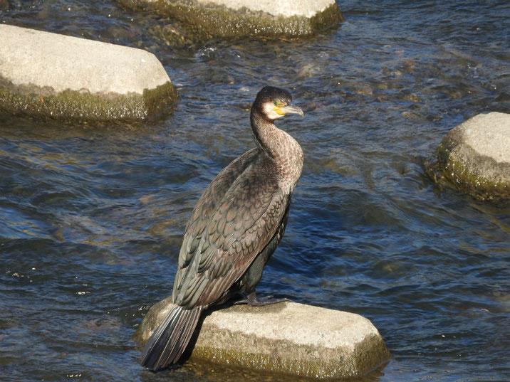 川鵜(かわう) 散策路河川 180302撮影