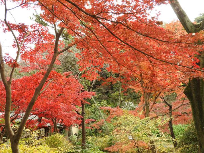 三溪園の冬紅葉 171202撮影