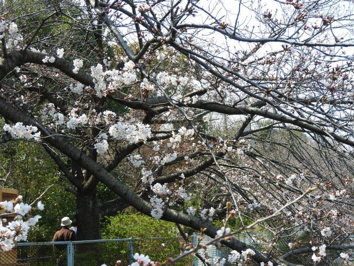 春 桜五分咲き 散策路 2019/03/27撮影