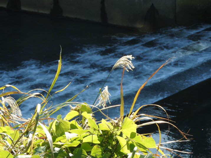 秋の芒 散策路河川 171125撮影