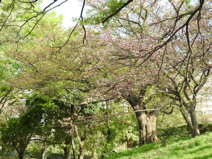 八重桜の風景 散策路公園 180407撮影